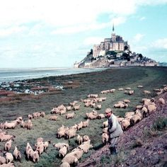 A shepherd tending to his flock of sheep in a... - LIFE