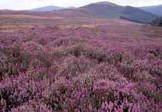 Heather, Wicklow Mountains on the road to Glenamalure
