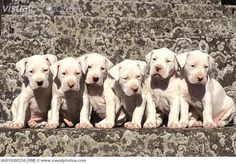 Dogo Argentino puppies. Love.