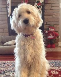 types of goldendoodle haircuts Google Search Chewie