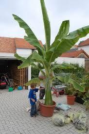 Hasil gambar untuk bananeira em vaso da fruto
