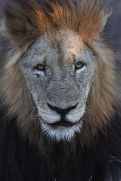 Tough Old Lion, Sabi Sand Game Reserve