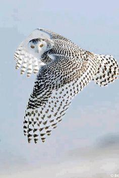 Snowy Owl (Bubo scandiacus) in flight Beautiful Owl, Animals Beautiful, Cute Animals, Stunningly Beautiful, Absolutely Stunning, Unusual Animals, Dead Gorgeous, Beautiful Patterns, Owl Always Love You