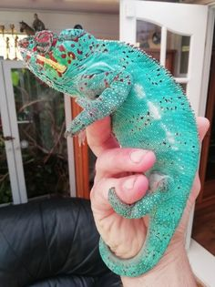 Nosy be males Cute Creatures, Beautiful Creatures, Animals Beautiful, Cute Reptiles, Reptiles And Amphibians, Types Of Chameleons, Animals And Pets, Baby Animals, Chameleon Pet