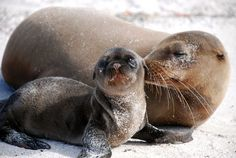 A sea lion gives what appears to be a kiss to her newborn in the Galápagos Islands.