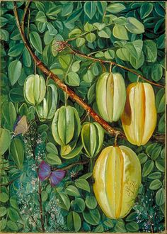 Flowers and Fruit of the Carambola and Butterflies, Singapore