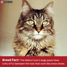 Maine Coon's are fascinating! Find out more fun facts about this cat.