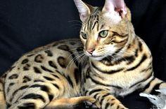 Bengal cat, my dream Chat Leopard Du Bengal, Asian Leopard Cat, Bengal Kittens, Mini Pizzas, Disney Family, Crazy Cat Lady, Crazy Cats, Ashera Cat, Toyger Cat