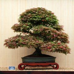 Acer palmatum 'Deshojo' Bonsai Tree Started out as a training stick bought from a nursery by current owner in London back in the 1980′s