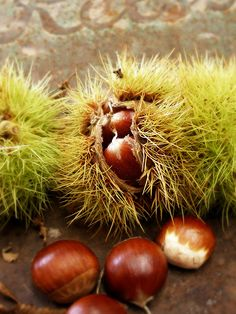 Autumn Harvest - Chestnuts