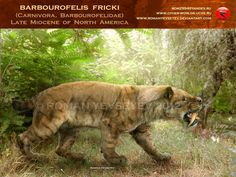 Also another Late Miocene experiment of the nature of testing the model saber-toothed cats. Previously closely associated with Nimravidae and Felidae, Barbourofelidae form a separate family, whose ...