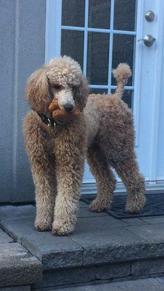 Standard Poodle ,Bella