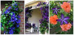Kevesen ismerik ezt a csodálatosan szép növényt, pedig hihetetlenül szép dísze lehet kertünknek, akár még a ház falára is felfuttathatjuk! Clematisz gondozása