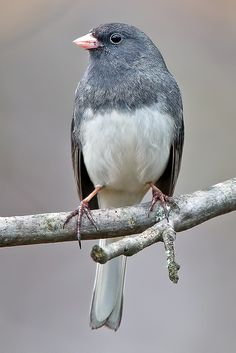 Dark-eyed Junco, Junco hyemalis, North America and Mexico, lives in coniferous forests and in forested urban areas, lays 3-5 green and brown-spotted eggs, can have a triangle of red and is the relative of the sparrow.