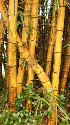 77 Best Bamboo Images Nature Bamboo Bamboo Garden