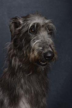 Deerhound. By Ty Foster.