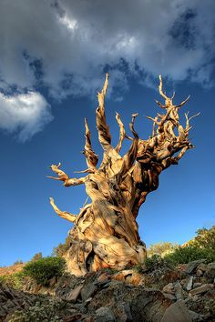 Methuselah, the world's oldest known living non-clonal organism, is 4,844 years old. (Ancient Bristlecone Pine Tree by Rob Kroenert, via Flickr)