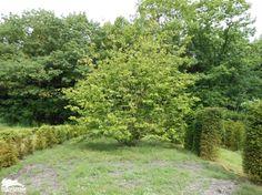 Parrotia persica (meerstammig)   Assortiment   De Zanderik