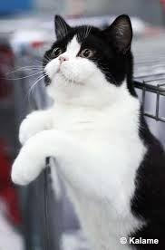 Black Bicolour British Shorthair