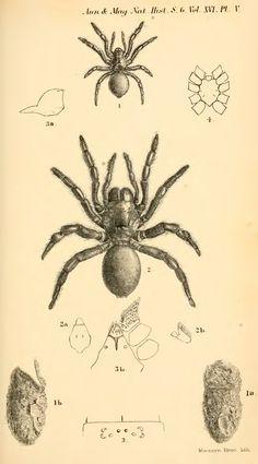 XXVIII.—Description of new genera and species of trapdoor spiders belonging to the group Trionychi - BioStor