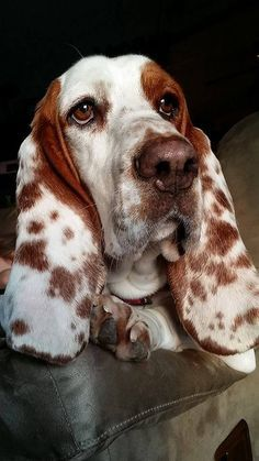 This is a great picture of a Basset Hound. Love the spots. PP: freckles on a Bassett Hound puppy. I've never seen a spotted Basset. Hound Puppies, Hound Dog, Cute Puppies, Basset Hound Puppy, Beagle Puppies, Beautiful Dogs, Animals Beautiful, Cute Animals, Animals Dog