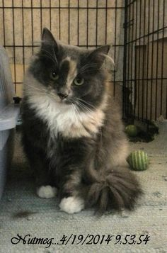 Meet+NUTMEG,+a+Petfinder+adoptable+Domestic+Long+Hair+Cat+|+Brainardsville,+NY+|+Petfinder.com+is+the+world's+largest+database+of+adoptable+pets+and+pet+care+information....
