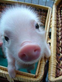 Tiny baby pig says hi!