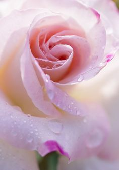 Romancing the Rose ✿⊱╮