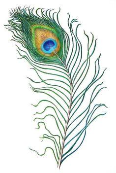 Peafowl | Peacock