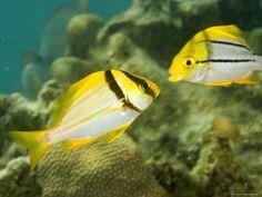Pork Fish - Belize