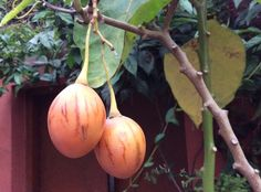 """Picking up ripe """"tyamatar"""" from the garden. Tyammatar is the Nepali name for """"tree tomato"""" an attractive plum shaped fruit with meaty pulp and seeds. It has a tough, bitter skin and is very tart, but flavorful when ripe. Despite its appearance, it is not a true garden tomato although it resembles a medium-size pear tomato. It is generally considered a native to the Andes of Peru, Chile, Ecuador, but also is grown in New Zealand, Australia and Asia."""