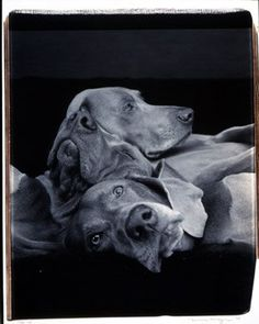 William Wegman Pile Up, Black and White Polaroid 24 x 20 inches William Wegman, Weimaraner Puppies, Vizsla, Blue Weimaraner, All Dogs, Best Dogs, Dogs And Puppies, Doggies, Polaroid