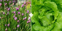 Lettuce + Chives or Garlic