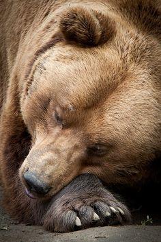 Sleeping Bear - Olmense Zoo - Balen, Belgium - 2013 - David Van Bael photography - https://www.flickr.com/photos/davidvb/8865224371/ - - http://www.olmensezoo.be/cms/index.php?lang=nl - -