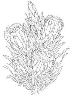 Protea Neriifolia or Oleanderleaf Protea coloring page from Protea category. Select from 20966 printable crafts of cartoons, nature, animals, Bible and many more. Flor Protea, Protea Art, Protea Flower, Flower Coloring Pages, Colouring Pages, Outline Drawings, Art Drawings, Simple Line Drawings, Fabric Painting
