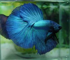 This is a link to Bettacare101 - a great site  for finding answers about betta care.