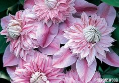 clematis - don't know which this is but would LOVE to have it - grow it.