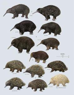 Family Tachyglossidae (Echidnas) Author: Toni Llobet Volume: Handbook of the Mammals of the World - Volume 5 #Echidna