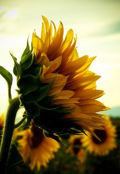 Grateful that a sunflower on its own might look pathetic, but when they gather together they become community.