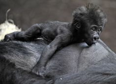 Gorilla Bahgira nurses her baby Kajolu in their ape house at the zoo in Munich, southern Germany. Cute Baby Animals, Animals And Pets, Funny Animals, Primates, Mammals, Cute Donkey, Silverback Gorilla, Baby Gorillas, Mountain Gorilla