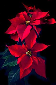 Beauty Rendezvous — Rajah Brooke's Birdwing butterlies sucking up. Poinsettia Plant, Christmas Poinsettia, Christmas Flowers, Christmas Art, Beautiful Christmas, Winter Christmas, Flower Crafts, Flower Art, Red Flowers