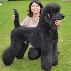 Standard poodle groomed by Kitty