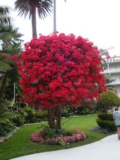 Bougainvillea Tree, just thought. Replace the rose on the arch into the garden with bougainvillea. Would be more showy and much hardier. Trees And Shrubs, Flowering Trees, Trees To Plant, Bonsai Trees, Garden Trees, Garden Plants, Fruit Garden, House Plants, Beautiful Gardens