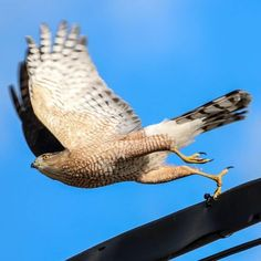Sharp-shinned Hawk #hawk #noon #wings #fly #photography #photo #Instagood #bird #birdwatching #sharpshinnedhawk #catgraff