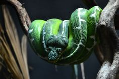 Morelia viridis, Green tree python