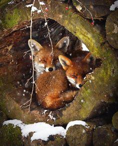 Fox cubs cuddling.