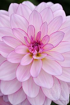 Dahlia 'Oriental Dream' (a waterlily type dahlia)