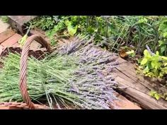 Have trouble growing lavender? For years I ended up with woody dead plants. By making a few changes in the soil and using a little trick, I was abl. Lavender Plant Uses, Growing Lavender, Lavender Wands, Yard Art, Beautiful Landscapes, Stuff To Do, Herbs, Gardening, Canning
