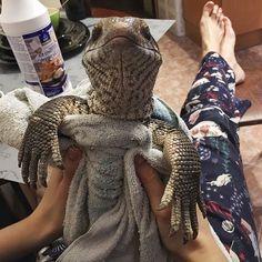 cute-lizard-pet-cuddles-savannah-monitor-astya-lemur-7