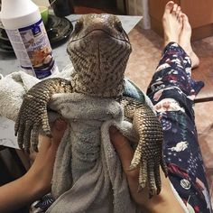 cute-lizard-pet-cuddles-savannah-monitor-astya-lemur-7